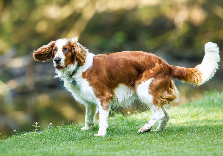 A spaniel is a type of gun dog. Spaniels were especially bred to flush game out of denser brush. By the late 17th century spaniels had been specialized into water and land breeds. Animals Brown And White Dogs Gun Dog Mammal Nature Outdoors Park Pet Spanial Surrey Uk Urban