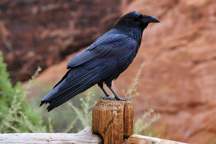 Side view of raven perching on wooden fence against rocks