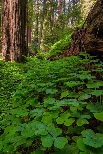 Redwood sorrel growing on a fallen tree. Plant Forest Growth Tree Land Green Color Plant Part Nature Leaf Tranquility Tree Trunk Trunk Beauty In Nature Day No People Foliage WoodLand Lush Foliage Outdoors Tranquil Scene Leaves Rainforest Redwoods Redwood Forest Photography California Sorrel Clover