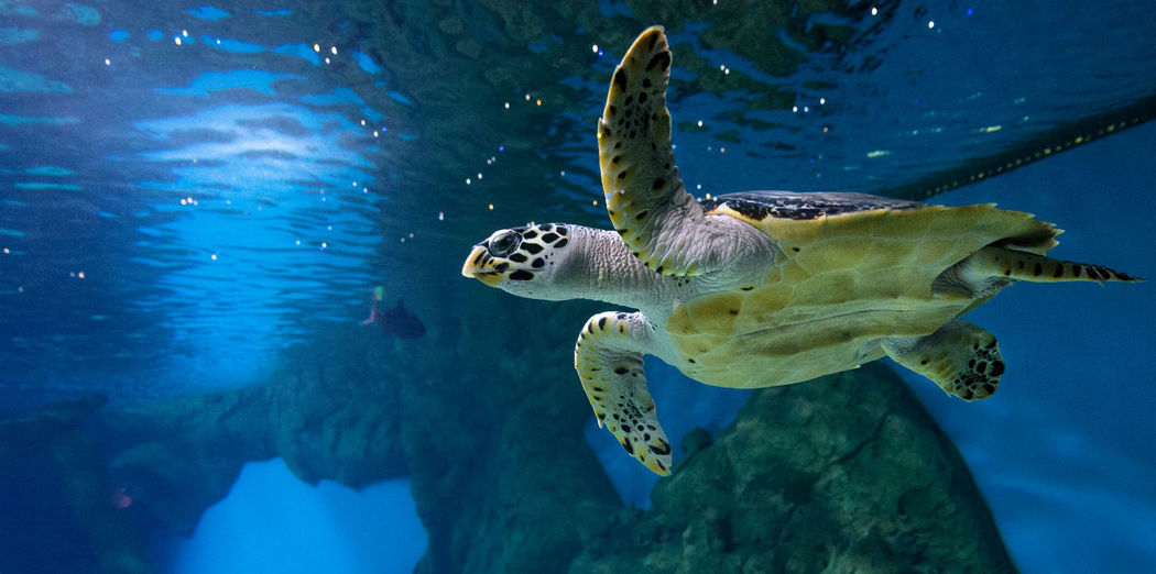 Hawksbill turtle swimming in aquarium