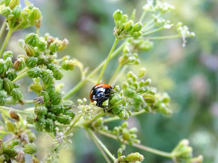 Insect Nature One Animal Close-up Flower Day Green Color Plant Growth Animals In The Wild Animal Themes No People Beauty In Nature Outdoors Leaf Ladybug Freshness Fragility