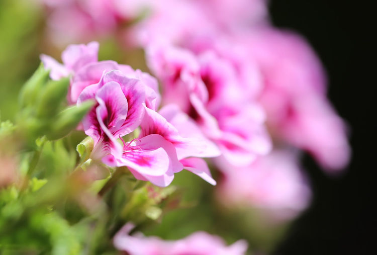 Rose geranium, Pelargonium graveolens flower Bright Macro Photography Rose Geranium Botanic Botanical Close-up Flower Flower Head Flowering Plant Fragility Freshness Garden Geranium Geranium Flower Growth Horticultural Horticulture Macro Nature Pelargonium Graveolens Petal Pink Color Plant Spring Summer