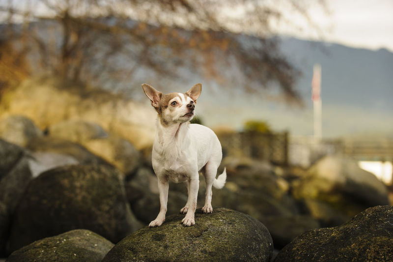 White Chihuahua Dog On Rock
