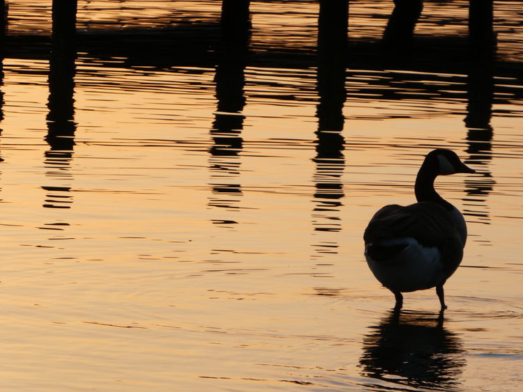 The goose on the golden lake bids us all goodnight... Water Animals In The Wild Animal Themes One Animal Lake Bird Reflection Animal Wildlife Outdoors No People Beauty In Nature Day Nature Sunset Canada Goose Almost Like Lliquid Gold. Simple Quiet Love Cold Temperature Peaceful Night Tranquility Reflection Silhouette @being_simple Thinking Of Rameez Sunset Colours On Water