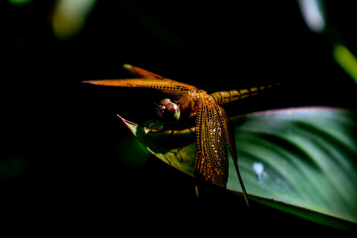 that glittering wings.. Close-up Stem Wildlife Focus On Foreground Plant Green Green Color Black Background Nature Freshness Fragility Beauty In Nature Plant Life Zoology Nature Photography From My Point Of View Creativity Nature EyeEm Best Shots Eyeem Philippines Freshness Macro Beauty Macro Photography Insect