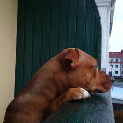 Nonfightinggeneration Pitbullterrier Dontbullymypitbull DogLove kärlek dbmpfall dontbullymypitbull13 instapit instadog doglove kärlek hund