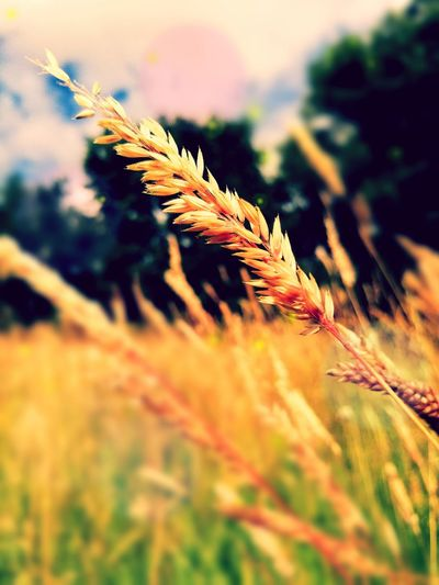 Found a grass field while out walking, it's so pretty in the sunlight! Walking Around Summer ☀ Feild 43 Golden Moments