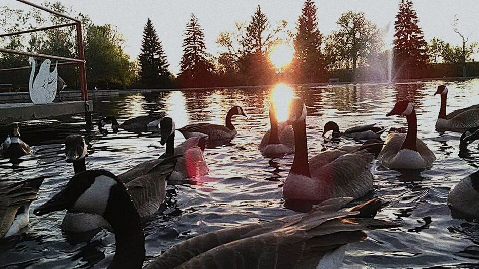 Ducks and geese Animal Wildlife Water Animal Themes Large Group Of Animals Sunset Beauty In Nature Tree Outdoors Bird Animals In The Wild Sunlight Swan Swimming No People EyeEmNewHere Neighborhood Map