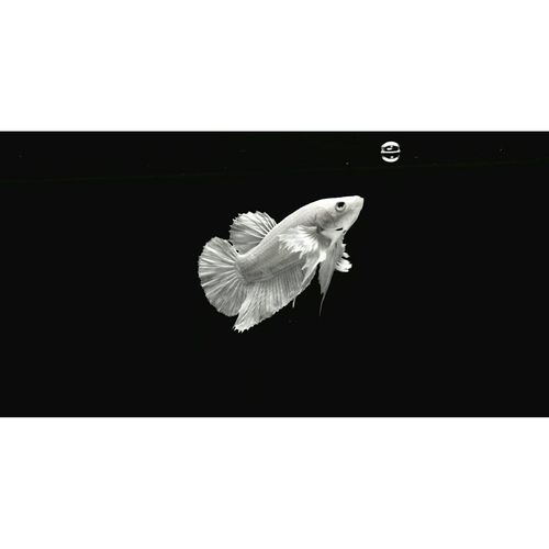 """wanna be a fooling fish"" - beauty of nature #Bubble #collateral #Nature  #papa #fish One Animal Animal Themes Copy Space Animals In The Wild Animal Wildlife No People Black Background"