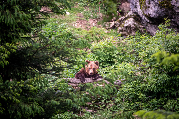 Portrait of bear in a forest