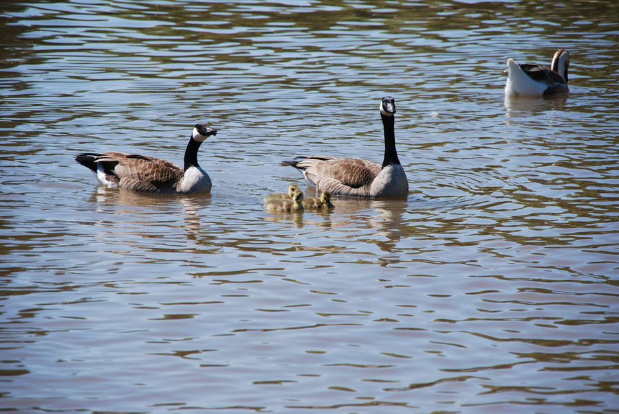 swan chinese goose No People Nature Group Of Animals Bird Animal Animals In The Wild Animal Wildlife Swimming Goose Young Bird Water Chinese Goose Baby Family Swan Goose