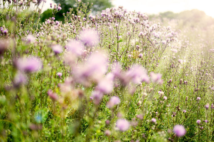 Purple wildflowers in a field with rays of sunlight beaming. Flower Flowering Plant Plant Field Wildflower Sunlight Flower Head Flowerbed Beauty Beauty In Nature No People Sun Rays Beaming Sun Nature Outdoors Freshness Grass Flora Tranquility Purple Day