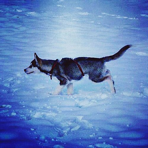 One Animal Animal Themes Animal Animal Wildlife Seafood Animals In The Wild No People Outdoors Day Full Length Nature Animal Fin Swimming Water Sea Life Mammal Humpback Whale Sky Snow ❄ Nature Pets Winter Tranquility Husky ♡ Snowdog