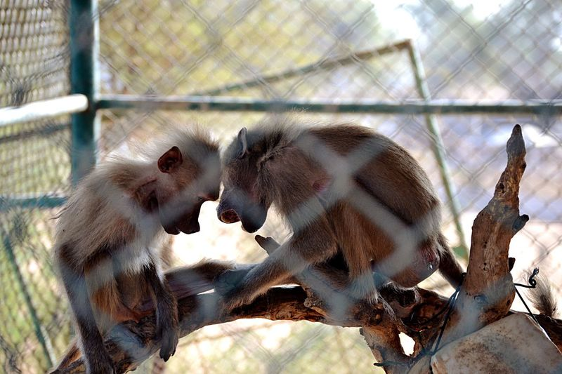 Close-up of monkeys against blurred background