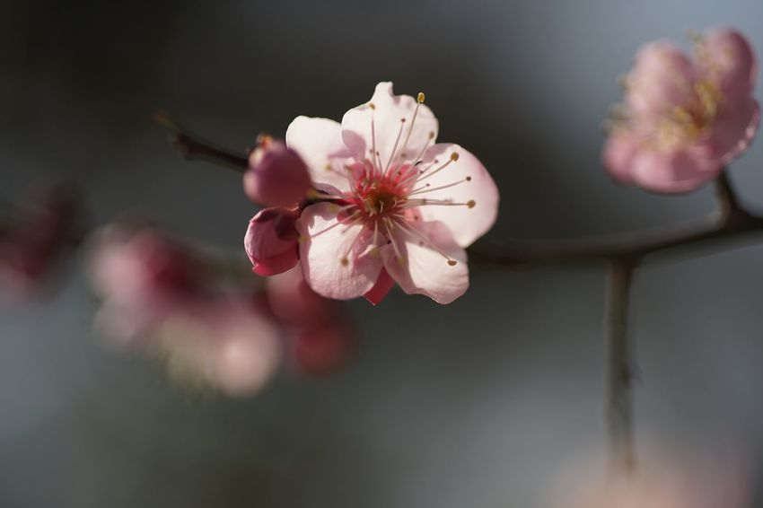 Emptiness Masako201802 Nofilternoedit 105mm Micronikkor Micronikkor105mmf2.8 Koishikawa Korakuen Koishikawa Korakuen Gardens Pink Flowers Transience Pain Absent Minded Lost Emptiness Flower Fragility Growth Beauty In Nature Petal Flower Head Nature Blooming Plum Blossom