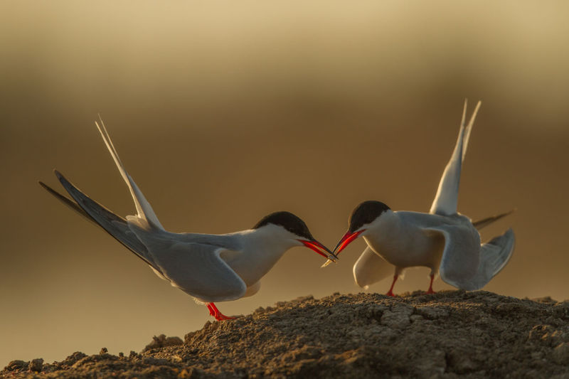 Close-Up Of Common Terns On Sand