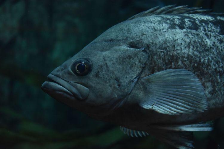 "what up"" Black Rock Fish UnderSea Sea Life Swimming Underwater Water Aquatic Mammal Sea Portrait Close-up Aquarium Fish Tank Tank Fish"