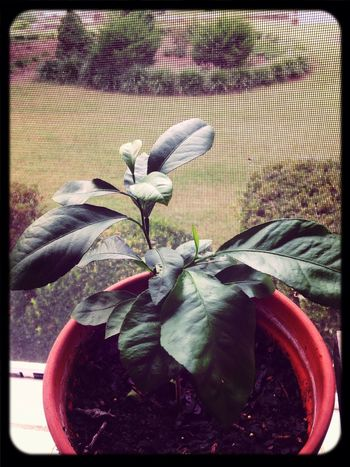 Lemon Tree that i started From Seed february before last. the Leaves smell like Lemon Candy