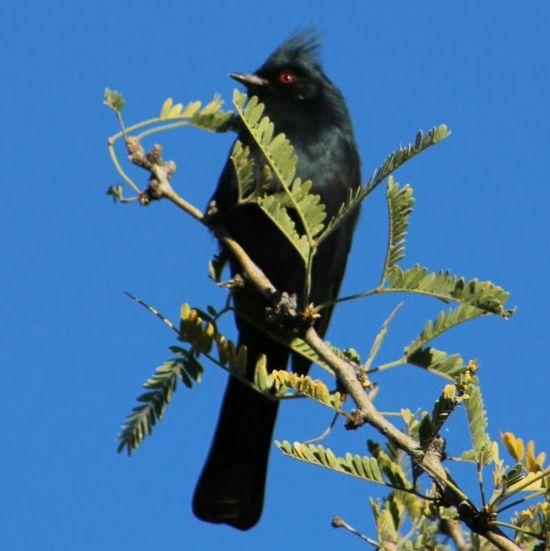 male PhainopeplaPhainopepla Bird EyeEm Nature Lover Wildlife