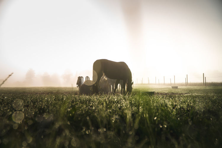 Horse grazing on grassy field against sky during sunset