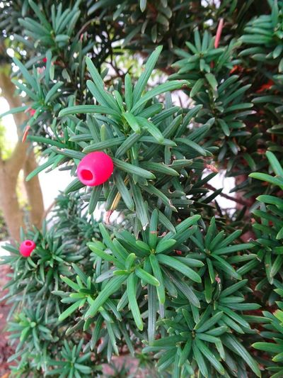 Yew Yew Tree Yew Berries Poisonous Poisonous Plant Plant Plant Part Nature Nature_collection Nature Photography Nature_collection Vegetation Flora Tree Branch Close-up Green Color Plant Needle Needle - Plant Part