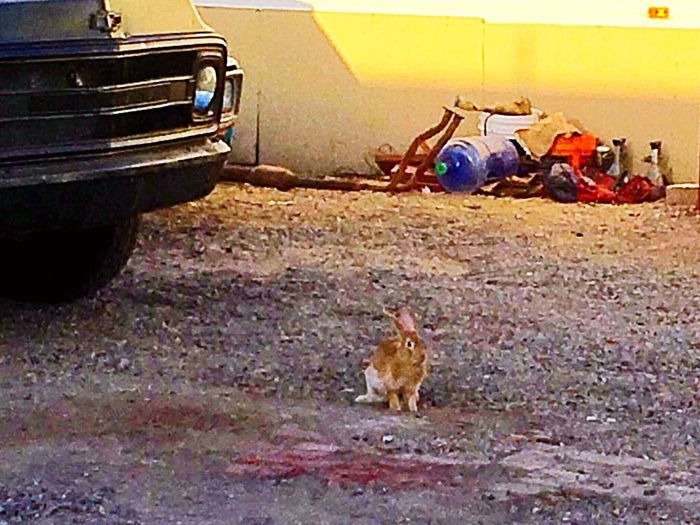 Looks like Buster the Desert Cottontail Bunny is back, drove up from work this morning and there he was. 🐇✨ Desert Cottontail Rabbit Rabbit Free Wildlife Photography Beauty In Nature Mammal Photography IPhone Photography Survival Bunny  Mammal Animal Themes Animal One Animal Sitting
