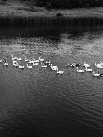Nature Nature Photography Animals Animal Photography Duck Vscocam Blackandwhite Blackandwhite Photography IPhoneography