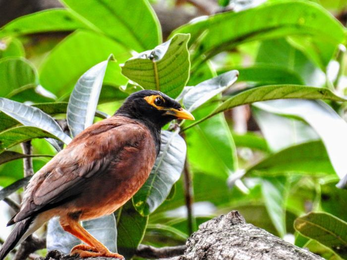 A Mynah perched on a tree branch Animals In The Wild Beauty In Nature Bird Close-up Day Focus On Foreground Green Color Leaf Nature One Animal Outdoors Perching Tree