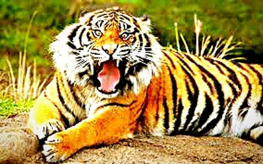 One Animal Tiger Striped Yawning Animals In The Wild Animal Themes Feline Mouth Open No People Sitting Whisker Mammal Close-up Grass Nature Outdoors Day