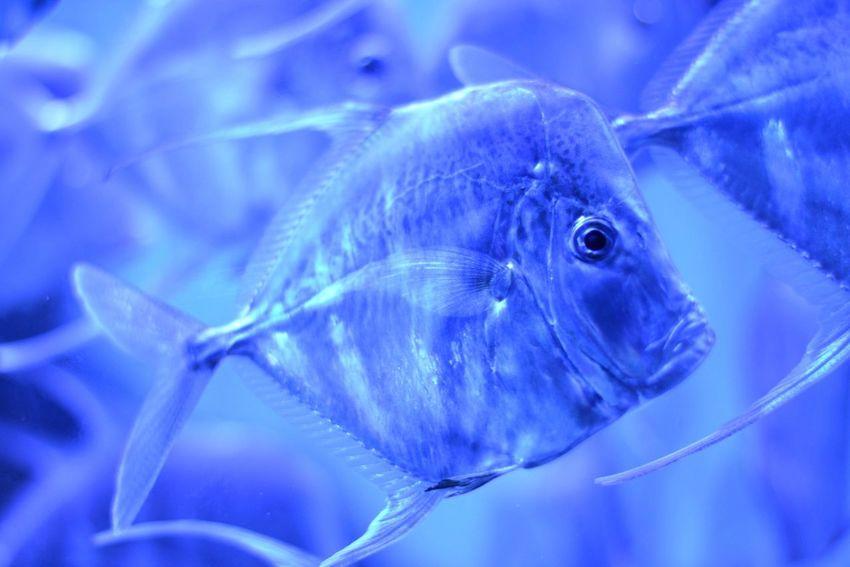 Blue Fish Animal Themes Close-up Aquarium Nature Sea Life No People One Animal Underwater Day