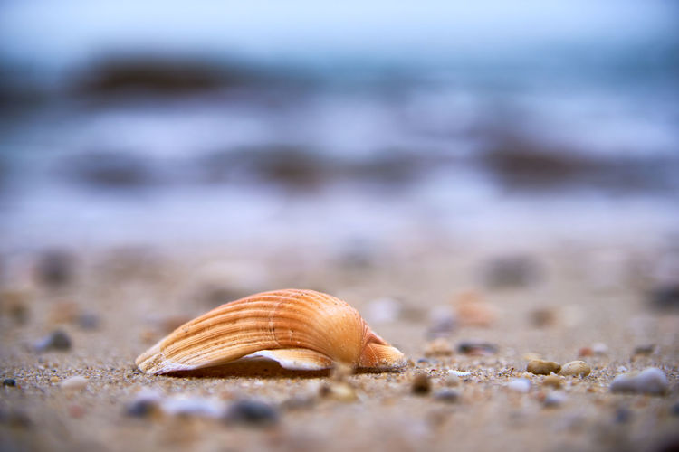 Close-up of seashell on beach