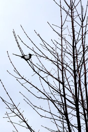 Magpie looking