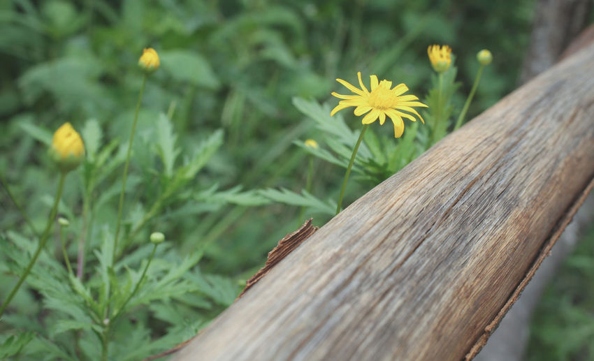 Flower Flowering Plant Plant Growth Close-up Beauty In Nature Nature Freshness Wood - Material Fragility Yellow Vulnerability  No People Inflorescence Flower Head Outdoors Day Petal Selective Focus Land