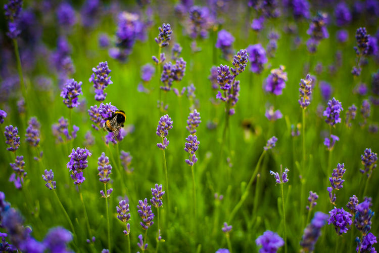 Ways Of Seeing Bee 🐝 Lavender Field Animals In The Wild Beauty In Nature Bee Bee And Flower Bee On The Flower Close-up Flower Head Flowering Plant Freshness Insect Lavender Lavender Flowers Lawenda Plant Pollen Pollination Purple Flower