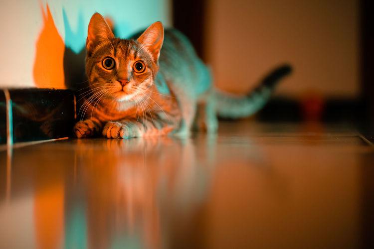 Portrait of cat relaxing on hardwood floor