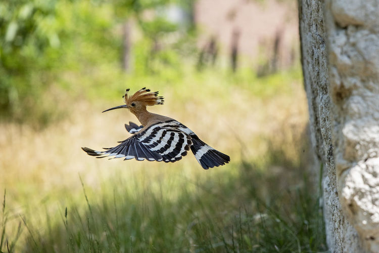 Animal Animal Themes Animal Wildlife Animal Wing Animals In The Wild Beauty In Nature Bird Butterfly - Insect Day Field Flying Focus On Foreground Hoopoe Hoopoe Bird Land Nature No People One Animal Outdoors Plant Selective Focus Spread Wings Tree Vertebrate Woodpecker