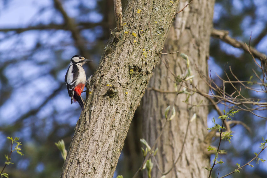 A great woodpecker on a tree Birds Of EyeEm  Great Woodpecker Tree Wood Animal Themes Animals Animals Life Animals World Bird Birdlife Birds Birds World Branch Branchlet Claws Dendrocopus Major Feather  Feathering Landscape Outdoors Wildlife Woodpecker Woodpeckers