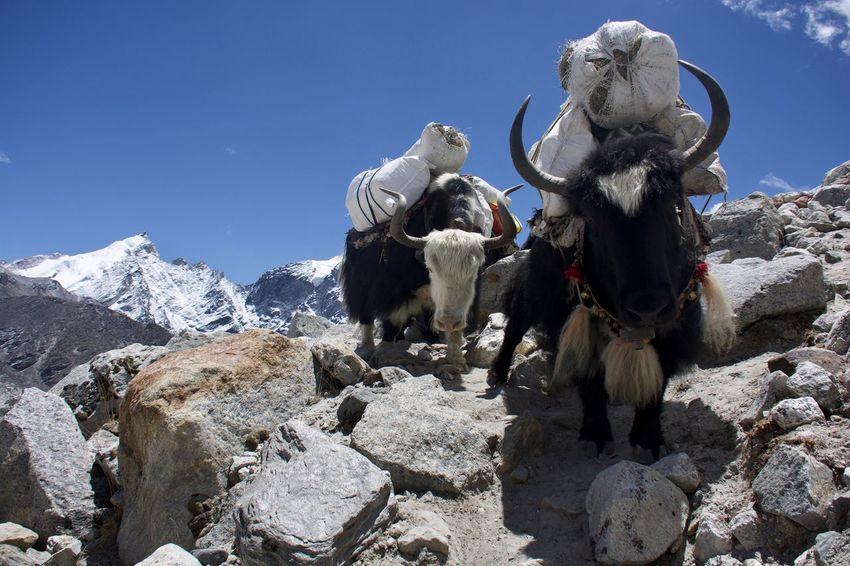 EyeEmNewHere Gorak Shep Kala Patthar Nepal Animal Themes Lobuche Mountain Nature