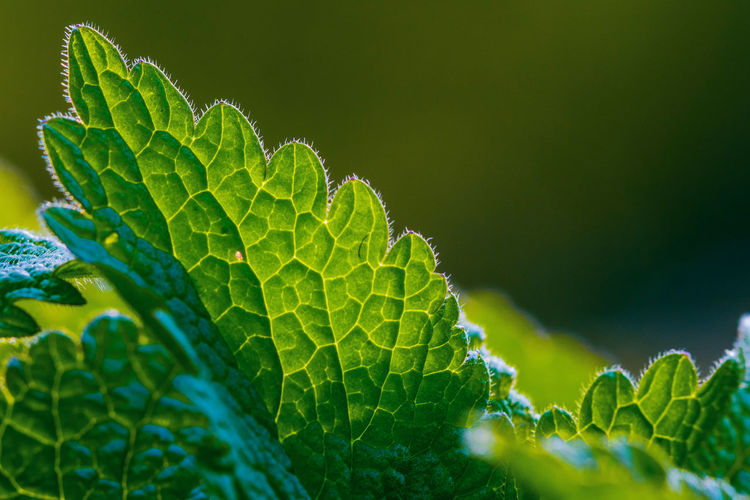 Close up of mint green leaves