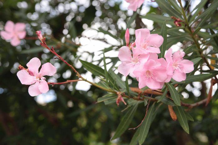 沖縄 Okinawa Japan 日本 少し早い開花? 花 Flower 草花 Cute