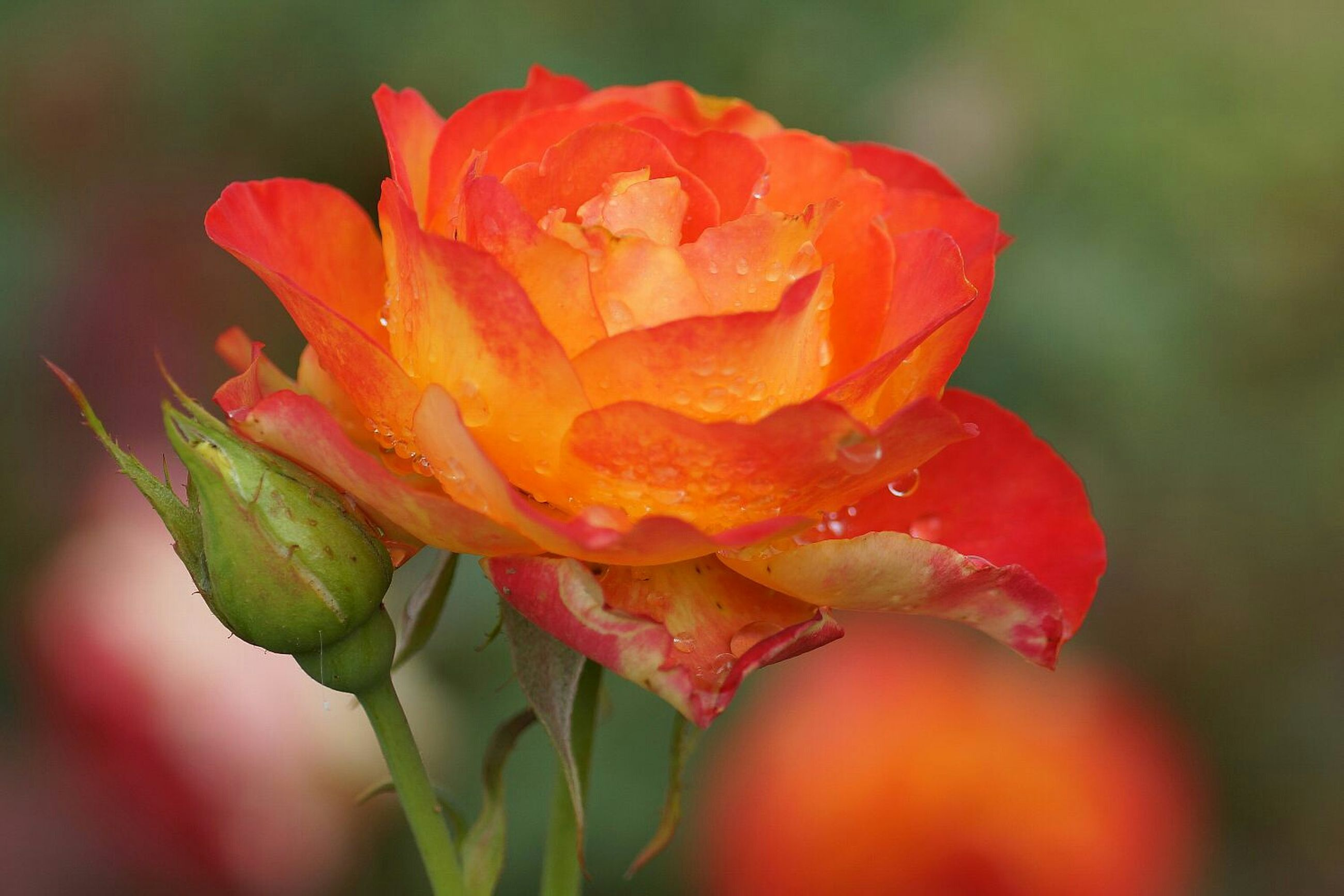 petal, flower, flower head, freshness, fragility, growth, close-up, beauty in nature, single flower, blooming, focus on foreground, rose - flower, red, nature, plant, in bloom, orange color, drop, outdoors, selective focus
