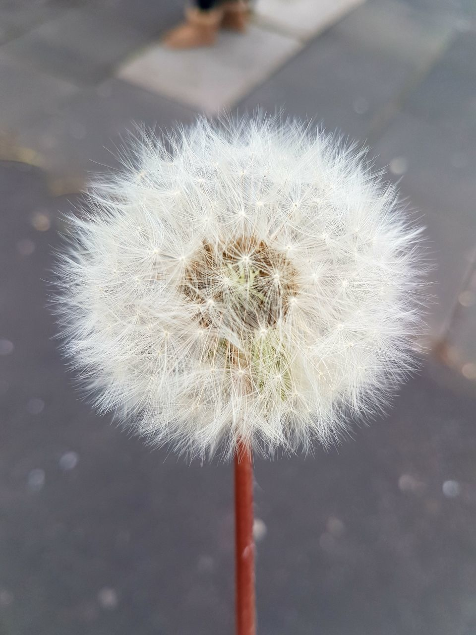 dandelion, flower, fragility, close-up, white color, focus on foreground, softness, growth, freshness, nature, day, plant, flower head, beauty in nature, outdoors, no people