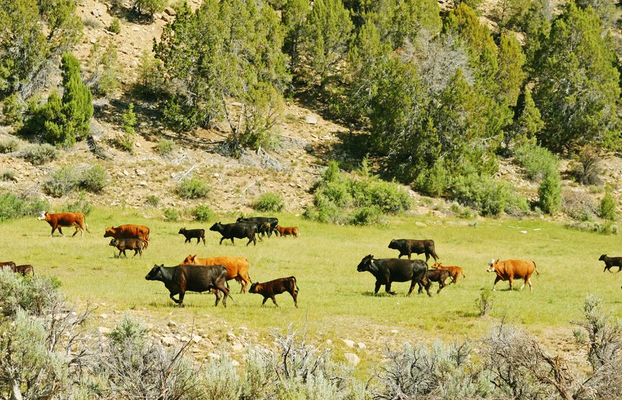 Cattle on the move Animal Themes Domestic Animals Livestock Nature Grazing Grass Herd Cows In A Field Herd Of Cows Rural Scene Field Chamberlain Ranch Utah