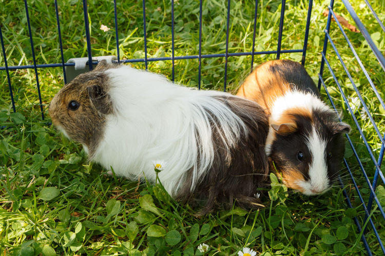 Guinea pigs in grass Clover Grass Grid Guinea Pig Whiskers Animal Black Brown Domestic Ear Fur Garden Mammal Muzzle Pet Rodent White Wire Fencing