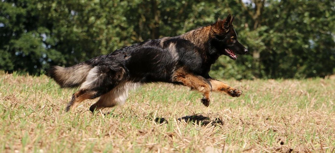 german shepherd is running on a stubble field EyeEm Pets Fun Action Active Animal Themes Day Dog Domestic Animals Fast Field German Shepherd Mammal Motion Nature No People One Animal Outdoors Pets Running Sand Sport Stubble Stubble Field Stubblefield Summer