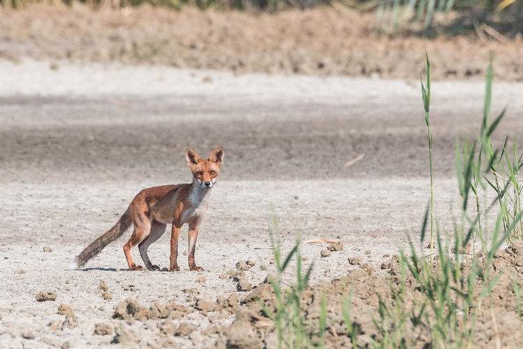 Young fox walking in the plain realizes to be observed, horizontal naturalistic image