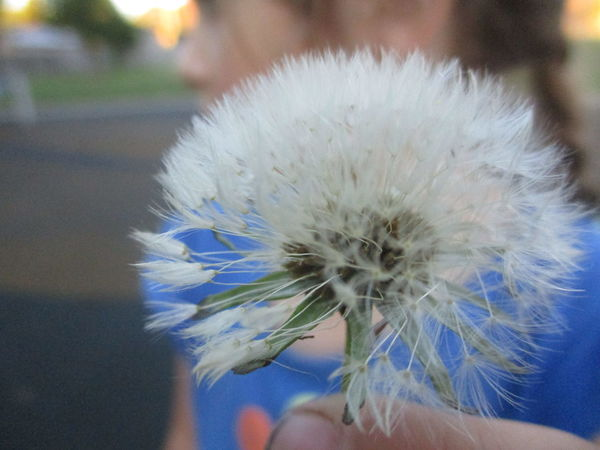 Blowball Child Child Holding Flowers Childhood Close-up Dandelion Dandelion Clock Dandelion Seed Dandelion Seed Head Dandelion Seeds Flower Fragility Gardening Holding Human Hand Make A Wish One Person Outdoors Plant Play Playground Real People Wish Wishful Profile