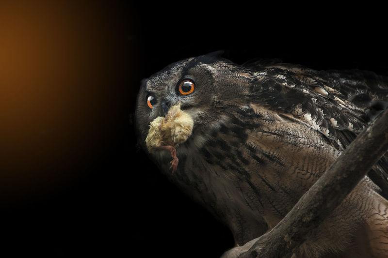 Close-up of bird against black background