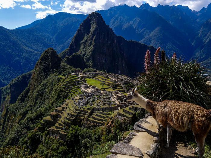 Llama by machu picchu against mountains