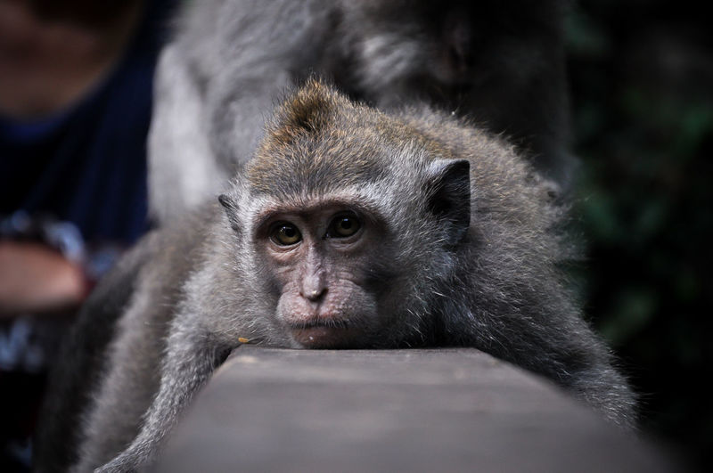 Young monkey resting